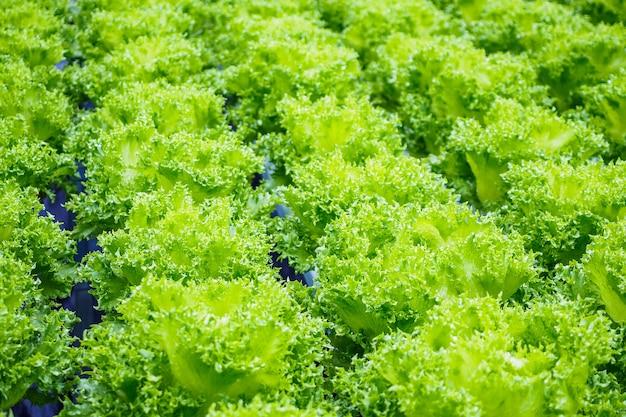 Świeża ekologiczna sałata z zielonych liści w systemie uprawy warzyw hydroponicznych