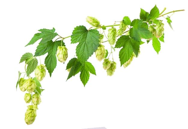 Świeża gałąź chmielu zielony, odizolowane na białej powierzchni. szyszki chmielowe do wyrobu piwa i chleba. ścieśniać
