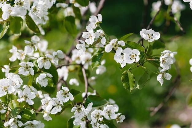 Świeża gałąź jabłoni z białych kwiatów w ogrodzie. koncepcja wiosna, słoneczny dzień. zamknij się, miękka selektywna ostrość, kopia przestrzeń