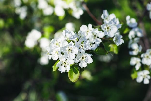 Świeża gałąź jabłoni z białych kwiatów w ogrodzie. koncepcja wiosny. ciemny nastrojowy obraz, zbliżenie, miękka selektywna ostrość, miejsce na kopię
