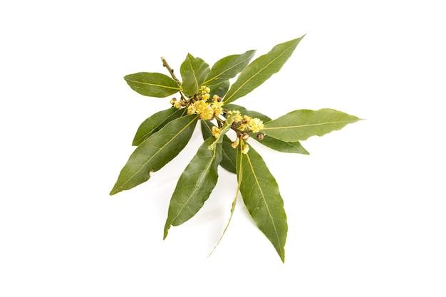 Świeża gałązka wawrzynu z kwiatami na białym tle na białej powierzchni
