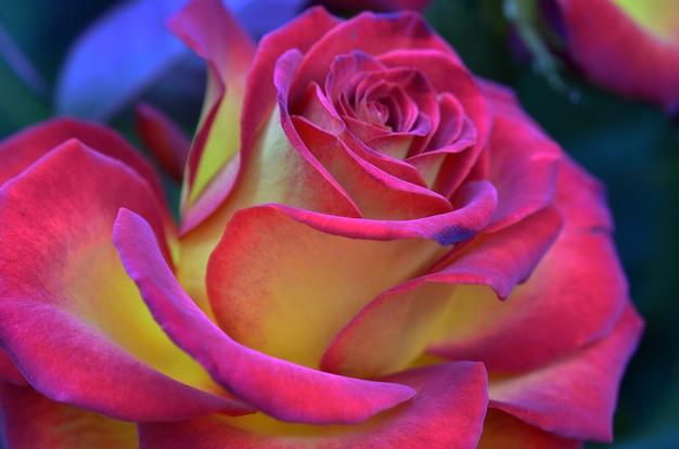 Świeża i mokra róża z kropelkami w makro