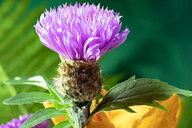 Świeża kolorowa kompozycja z knapweeda plamistego lub miodu z ostu gwiaździstego - centaurea maculosa. letnie kwiaty. naturalne tło naturalne. fotografowanie makro.
