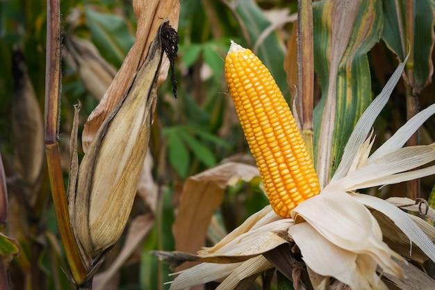 Świeża kukurydza na łodydze w polu. koncepcja rolnictwa