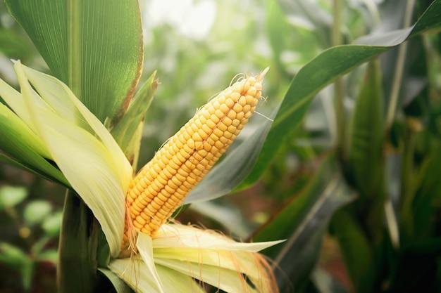 Świeża kukurydza na łodydze w polu ze słońcem w świetle poranka