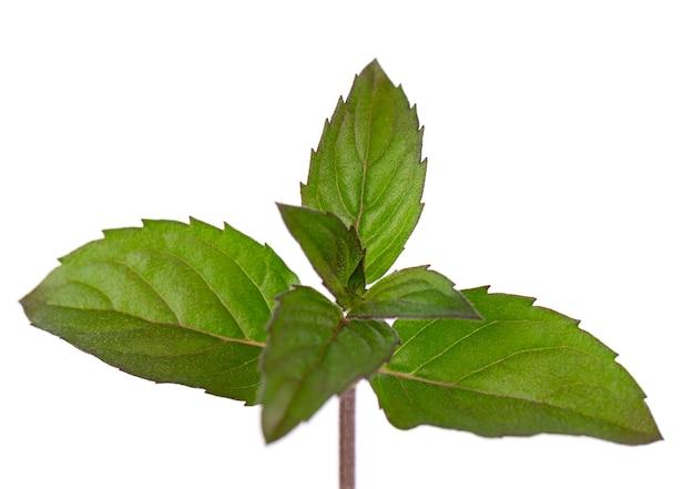 Świeża mięta pieprzowa na białym tle liście mięty