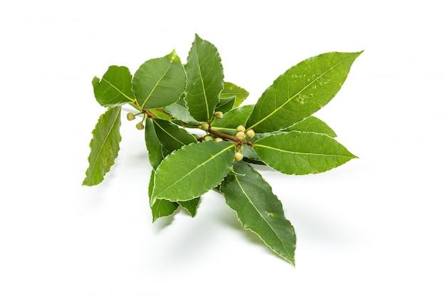 Świeża podpalana laurowa gałązka z liśćmi odizolowywającymi. laurus nobilis