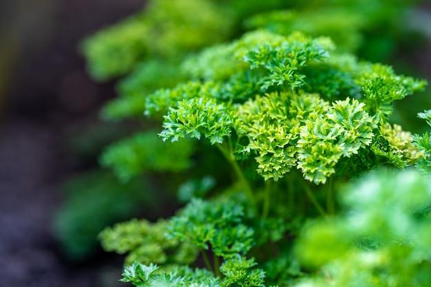 Świeża roślina selera w ogrodzie