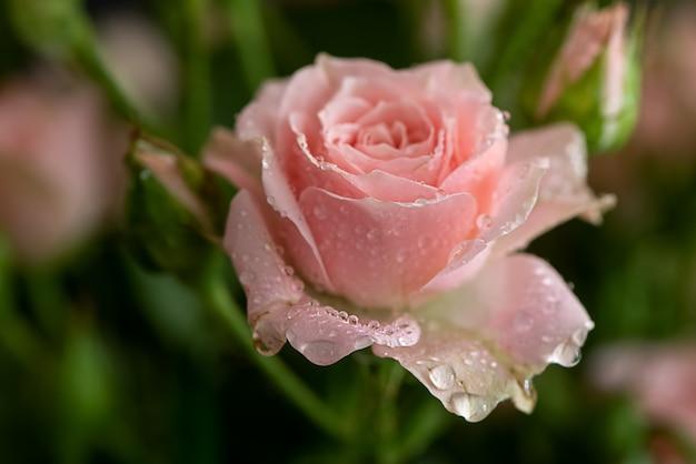 Świeża różowa róża z kroplami rosy na płatkach z bliska