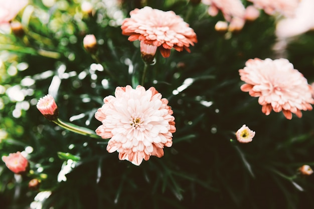Świeża różowa stokrotka na zamazanym tle.