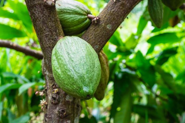 Świeża surowa kakaowa owoc z drzewa kakaowego
