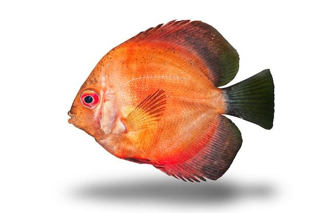 Świeża surowa ryba odizolowywająca na białym tle