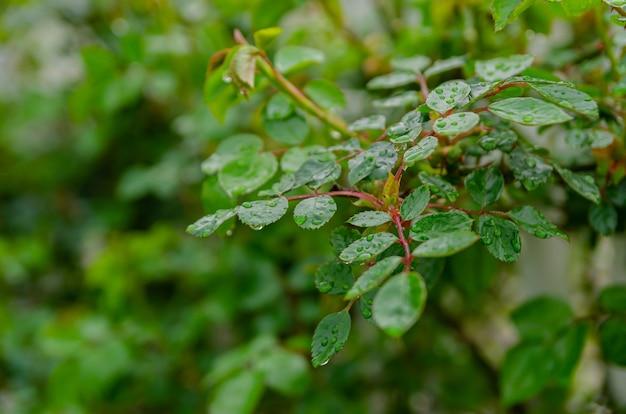 Świeża wiosna opuszcza na krzaku z różami w ogródzie po deszczu.