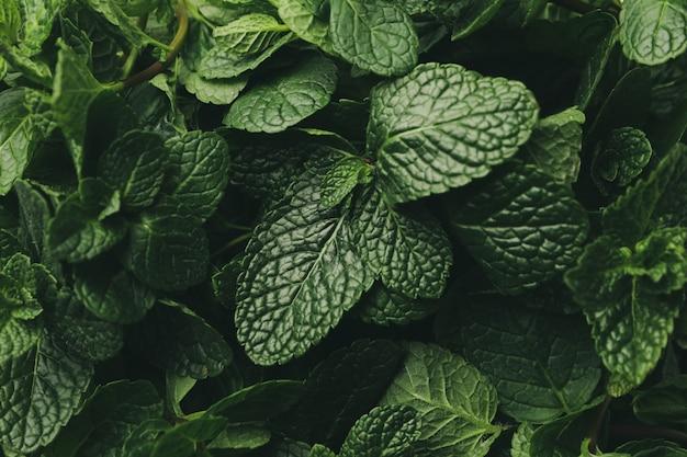 Świeża zieleni mennicy tekstura, zamyka up