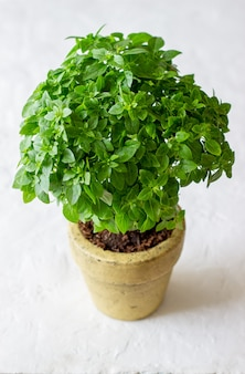 Świeża zielona bazylia. dieta. zdrowe odżywianie.