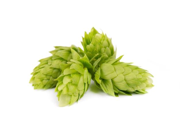 Świeża zielona chmiel gałąź, odosobniona na białym tle