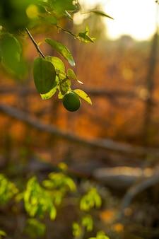 Świeża zielona cytryna na drzewie