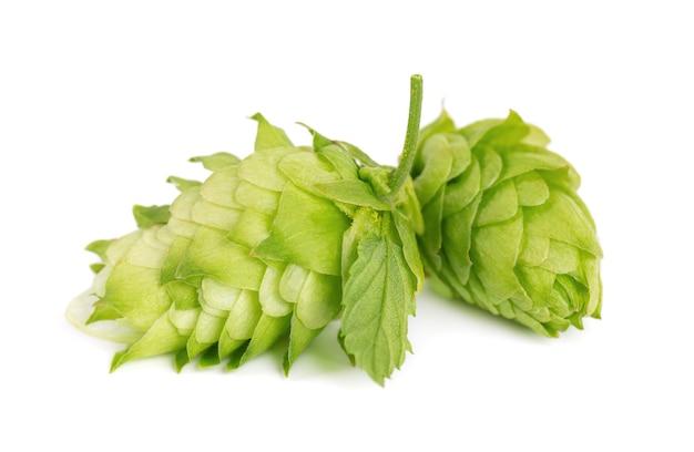 Świeża zielona gałąź chmielu na białym tle na białym tle szyszki chmielowe z liśćmi organicznych kwiatów chmielu blisko