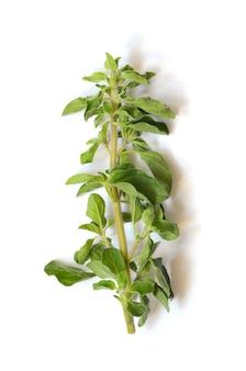 Świeża zielona gałązka oregano