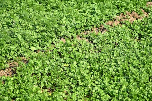Świeża zielona kolendra w polu ogrodu lub gospodarstwa