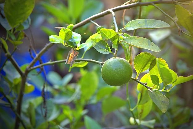 Świeża zielona limonka wisząca na drzewie w gospodarstwie z techniką selektywnej ostrości ze światłem słonecznym
