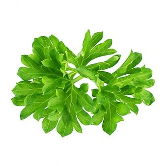 Świeża zielona pietruszki gałązka odizolowywająca