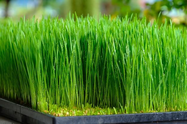 Świeża zielona pszeniczna trawa z kropli rosą
