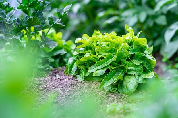 Świeża zielona rukola w ogrodzie