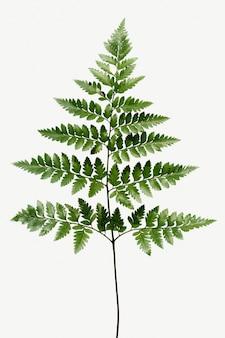 Świeża zielona skórolistna paproć na białym tle