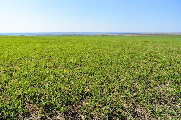 Świeża zielona trawa i błękitne niebo. przestronne zielone pole. tło, tekstura trawa zielona. wiosna krajobraz. skopiuj miejsce.