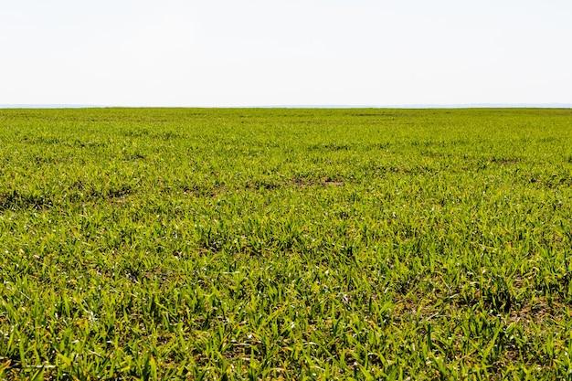 Świeża zielona trawa w słoneczny dzień wiosny. wiosna krajobraz. przestronne zielone pole. tło, tekstura trawa zielona.