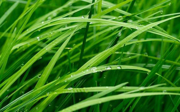 Świeża zielona trawa z kroplami wody, rosa wodna na zielonych liściach sadzonek drzewa ryżowego w rolnictwie zbliżenie pola ryżowego