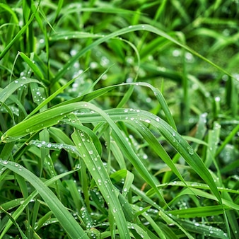Świeża zielona trawa z kroplami wody