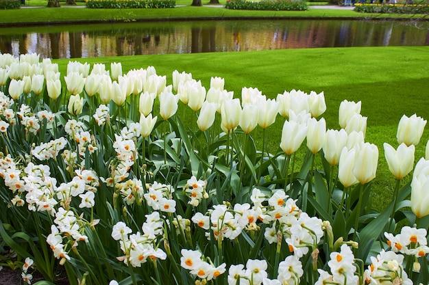 Świeże białe tulipany i żonkile na zielonym trawniku w parku