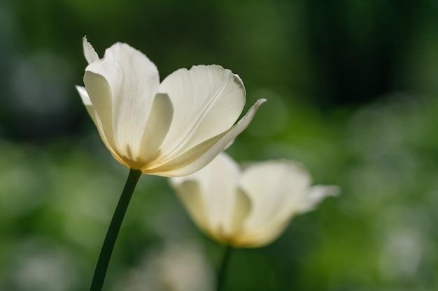 Świeże białe tulipany słonecznie