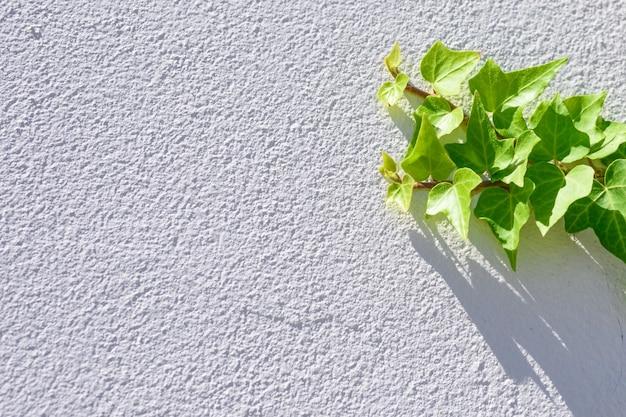 Świeże bluszcz liści zielonych wspinaczka na białym tle teksturowanej ścianie.