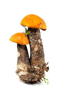 Świeże borowiki pomarańczowe czapki na białym tle
