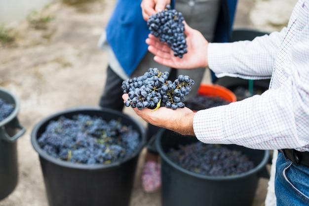 Świeże, ciemne winogrona w rękach
