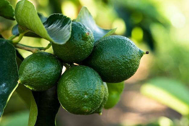 Świeże cytryny w gałęzi drzewa