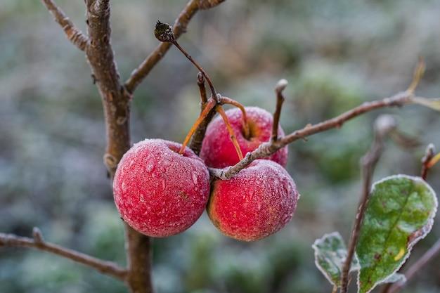 Świeże czerwone jabłka na drzewie w pierwszych przymrozkach, z bliska. czerwone jabłka z szronem po pierwszych porannych przymrozkach, ukraina