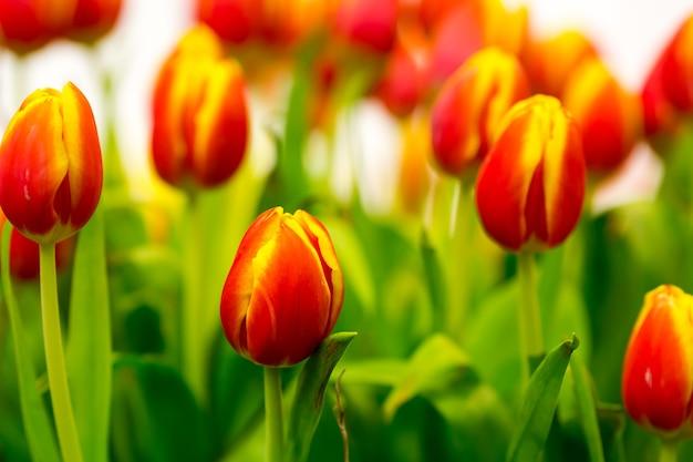 Świeże czerwone tulipany na polu z bliska
