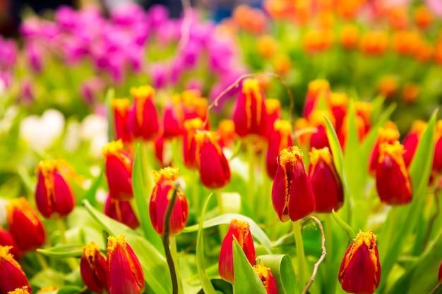 Świeże czerwone tulipany na polu