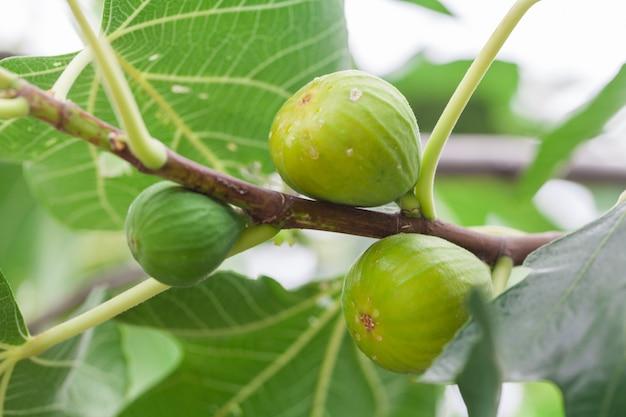Świeże, dojrzałe zielone figi