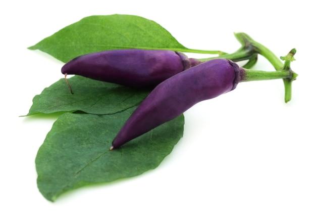 Świeże fioletowe papryczki chili z zielonymi liśćmi