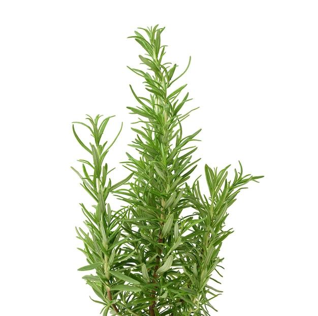 Świeże gałązki rozmarynu z zielonymi liśćmi na białym tle. przyprawa do mięsa, ryb