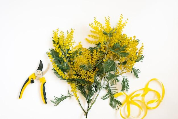 Świeże gałęzie mimozy, narzędzie do przycinania ogrodu na beżowym pastelowym tle. ogrodnictwo i florystyka, koncepcja pracy wiosennej. płaskie ułożenie