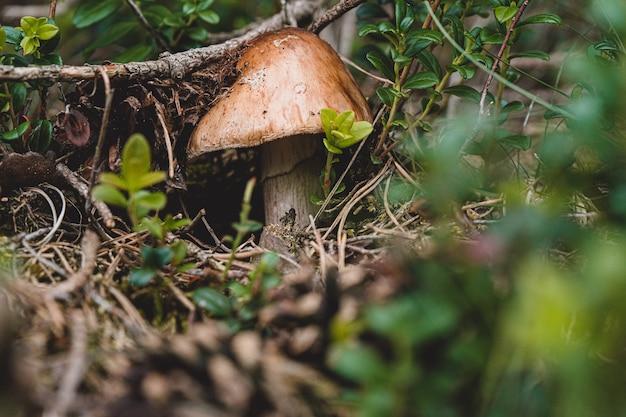 Świeże grzyby wypełzają z ziemi
