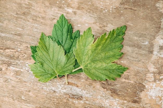 Świeże i porzeczki liście na białym drewnianym stole. widok z góry. uratuj lato. sezon zbierania młodych liści czarnej porzeczki do suszenia i wykorzystania jako herbata.