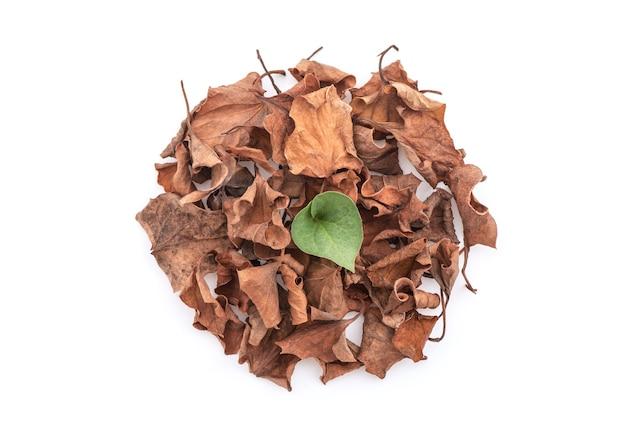 Świeże i suszone liście houttuynia cordata lub plu kaow na białym tle. widok z góry, płaski świeckich.