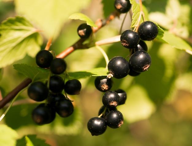 Świeże jagody czarnej porzeczki